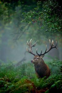 deer england