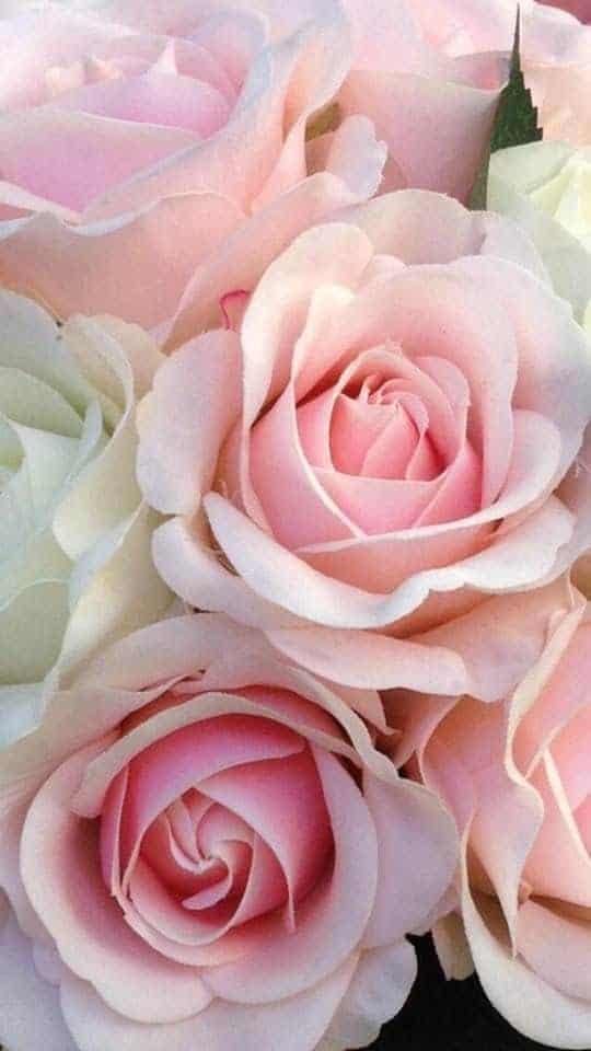 roses elizabeth bennet